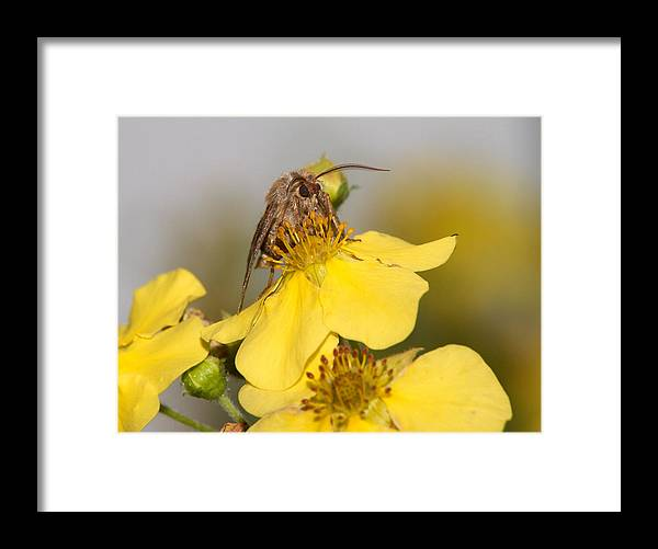Butterfly Framed Print featuring the photograph Antler Moth by Jouko Lehto