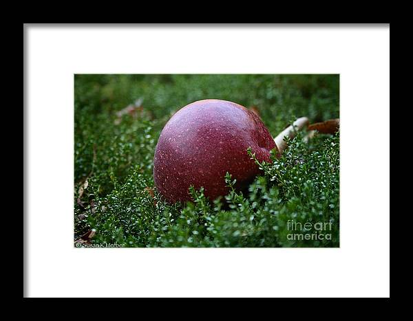Outdoors Framed Print featuring the photograph Apple Gravity by Susan Herber