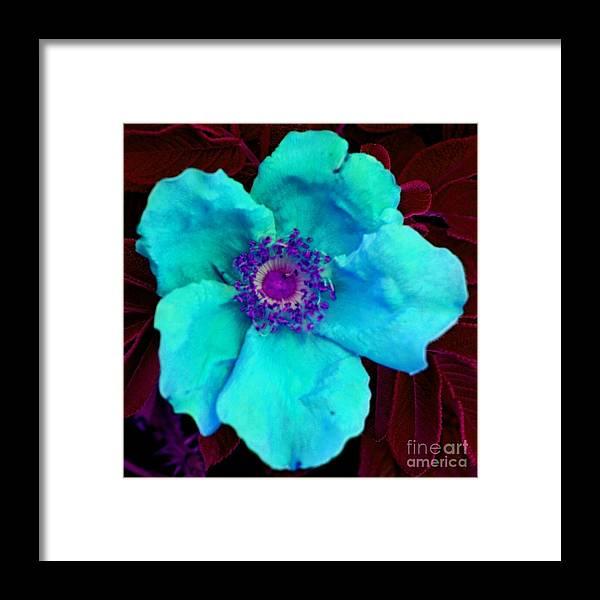 Flower Framed Print featuring the photograph Aqua Rugosa by Tessa Murphy