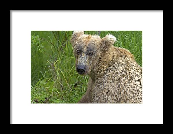 Bear Framed Print featuring the photograph Are You Looking At Me by Gord Patterson