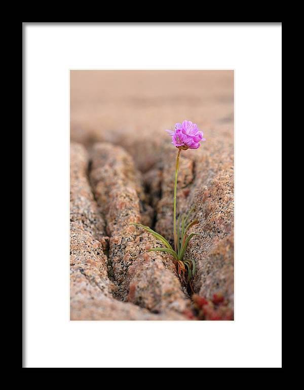 Armeria Maritima Framed Print featuring the photograph Armeria Maritima Flower by Bjorn Svensson