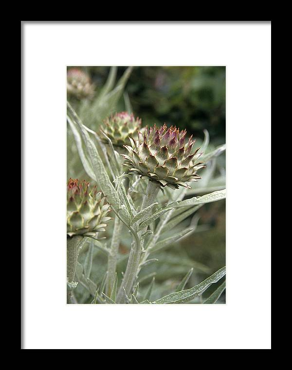 Artichoke Framed Print featuring the photograph Artichoke (cynara Scolymus) Flowers by Veronique Leplat