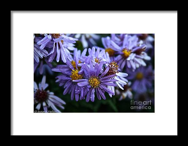 Flower Framed Print featuring the photograph Aster Dew Drops by Susan Herber