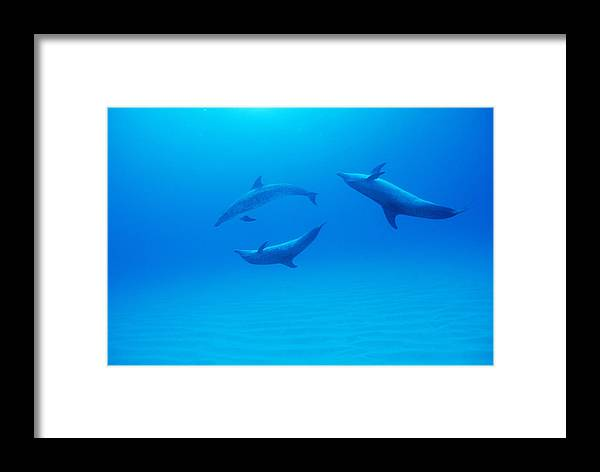 Stenella Frontalis Framed Print featuring the photograph Atlantic Spotted Dolphins by Alexis Rosenfeld
