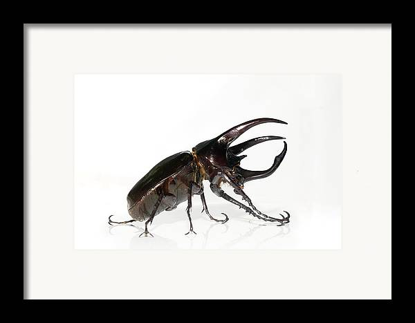 Chalcosoma Sp. Framed Print featuring the photograph Atlas Beetle by Chris Hellier