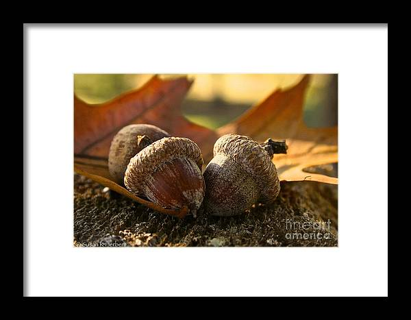 Outdoors Framed Print featuring the photograph Autumn Acorns by Susan Herber