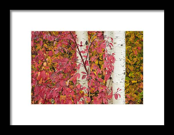 Red-osier Dogwood Framed Print featuring the photograph Autumn Color by Greg Vaughn