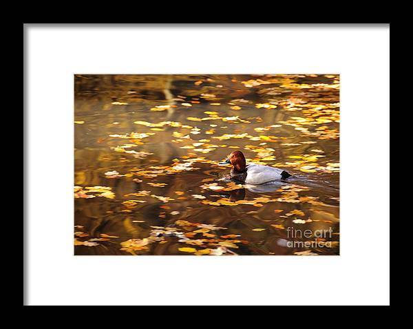 Autumn Framed Print featuring the photograph Autumn Duck by Katja Zuske