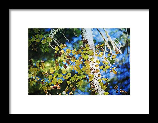 Tree Framed Print featuring the photograph Autumn Maple by Bonnie Bruno