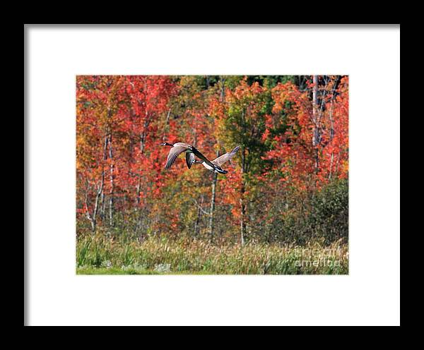 Autumn Framed Print featuring the photograph Autumn Vermont Geese And Color by Deborah Benoit