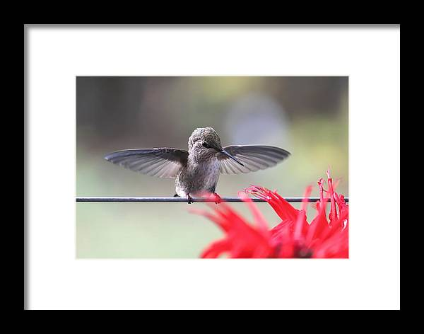 Hummingbird Framed Print featuring the photograph Baby Anna by Angie Vogel