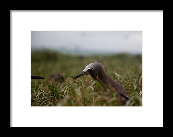 Bird Framed Print featuring the photograph Baby Brown Noddy by Carole Hinding