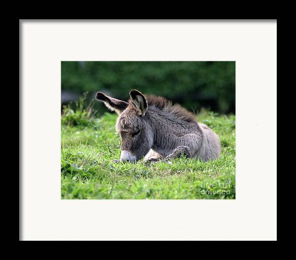 Donkey Framed Print featuring the photograph Baby Donkey by Deborah Smith