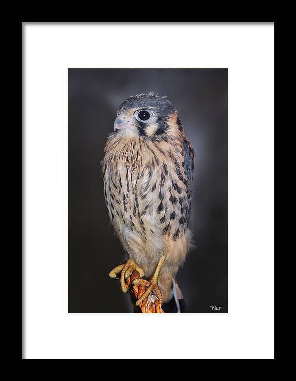 American Kestrel Falcon Framed Print featuring the photograph Baby Kestrel Falcon by Peg Runyan