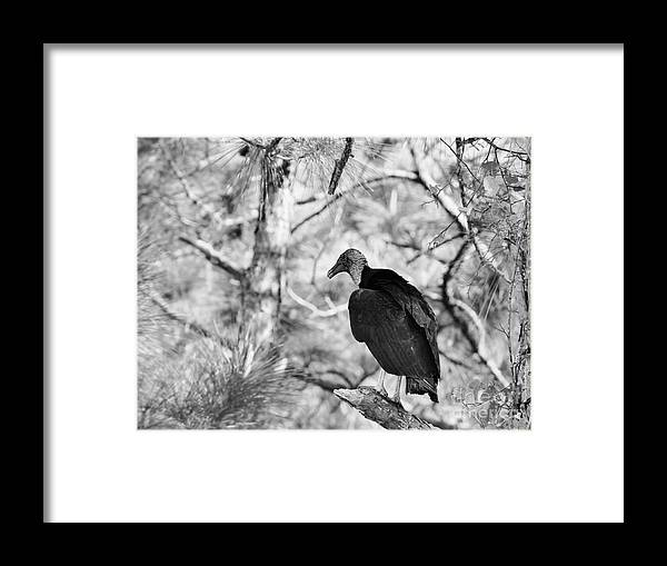 Black Vulture Framed Print featuring the photograph Back In Black by Lynda Dawson-Youngclaus