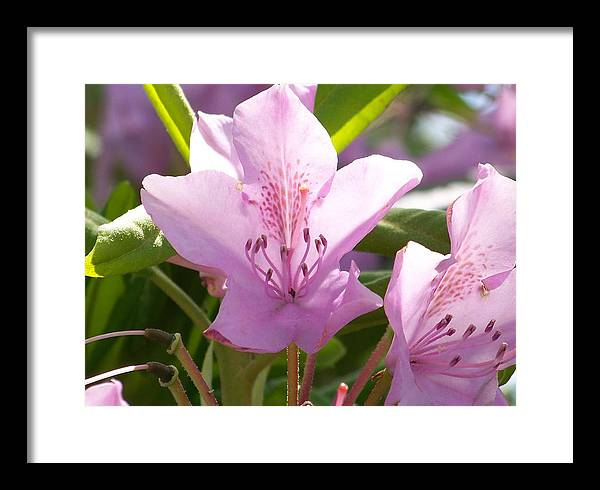 American Framed Print featuring the photograph Backlite Flower by Glenn McCurdy