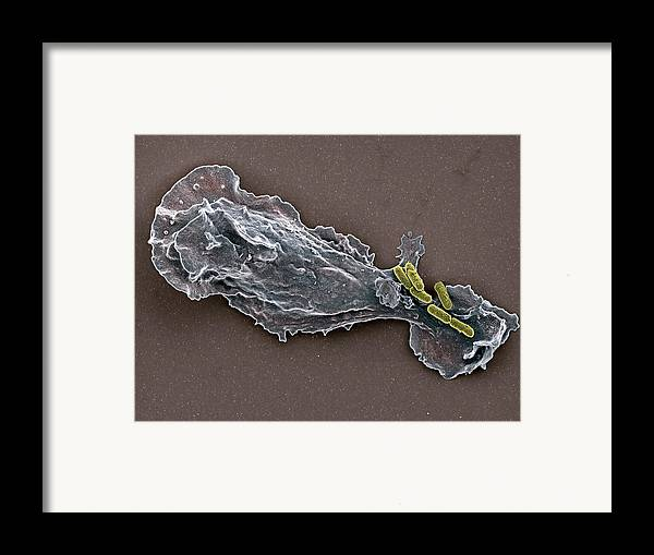 False-colour Framed Print featuring the photograph Bacteria And Neutrophil Cell, Sem by