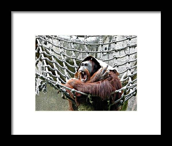 Orangutan Framed Print featuring the photograph Bad Day At Work by Jo Sheehan