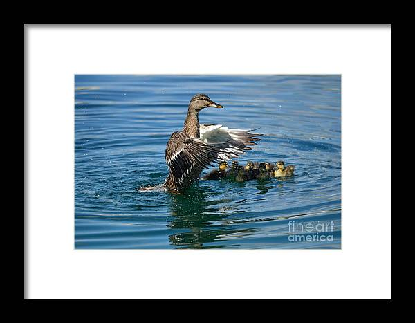 Ducks Framed Print featuring the photograph Bad Duck Rising by Janie North