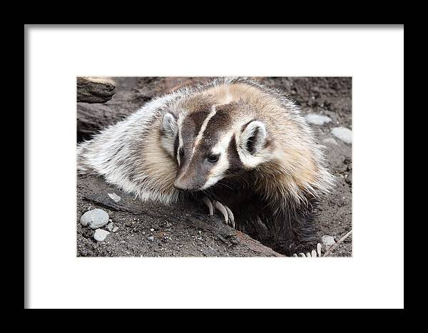Northwest Trek Framed Print featuring the photograph Badger - 0007 by S and S Photo