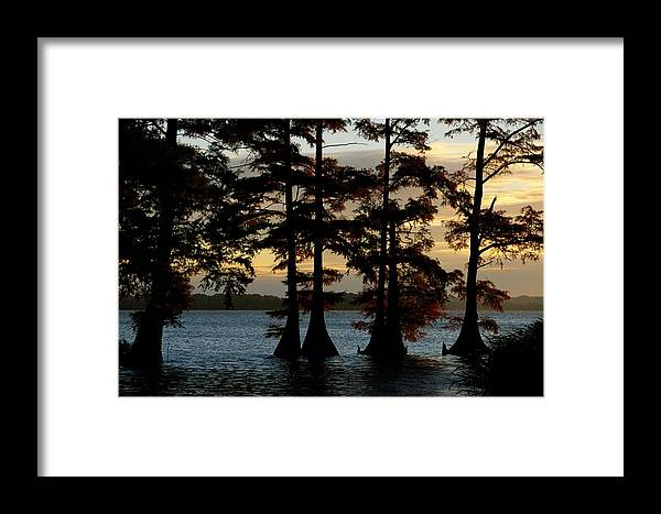 reelfoot National Wildlife Refuge Framed Print featuring the photograph Bald Cypress Trees Growing by Raymond Gehman