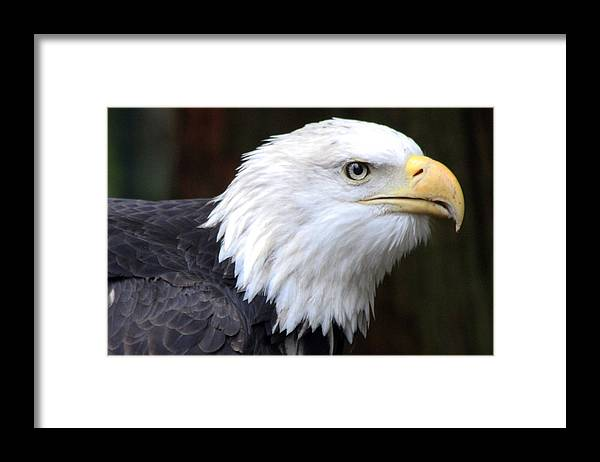 Northwest Trek Framed Print featuring the photograph Bald Eagle - 0001 by S and S Photo