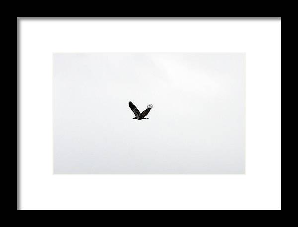 Lower Klamath Framed Print featuring the photograph Bald Eagle - Immature - 0032 by S and S Photo