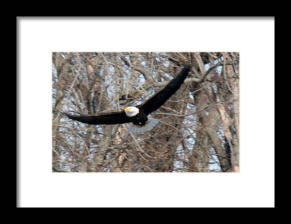 Bald Eagle Framed Print featuring the photograph Bald Eagle At Full Wingspan by Crystal Heitzman Renskers
