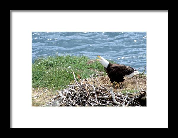 Bald Eagle Framed Print featuring the photograph Bald Eagle Calling by Larry Allan