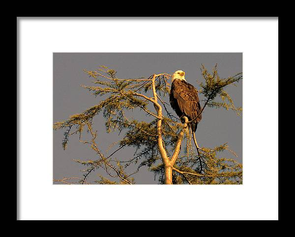 Bald Eagle Framed Print featuring the photograph Bald Eagle by Lawrence Christopher