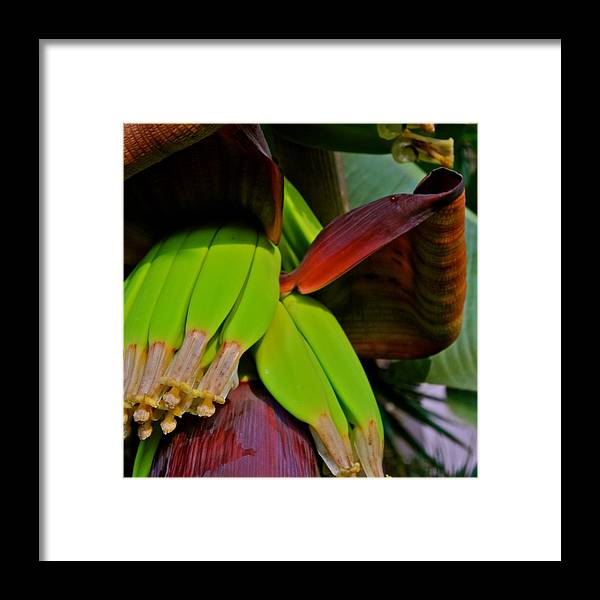 Banana Plant Framed Print featuring the photograph Banana Plant I by Kirsten Giving