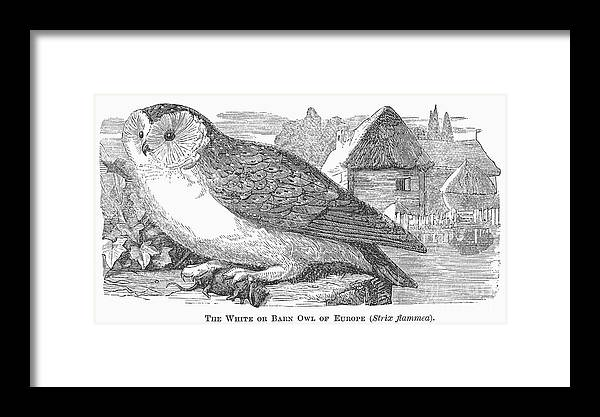 1877 Framed Print featuring the photograph Barn Owl, 1877 by Granger