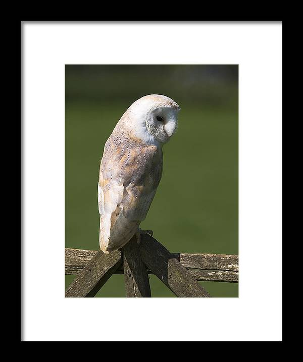 Tyto Alba Framed Print featuring the photograph Barn Owl by Denise Swanson