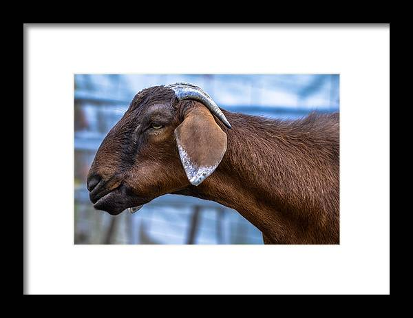Framed Print featuring the photograph Barnyard Goat by Brian Stevens