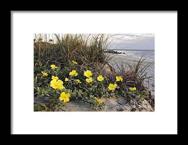 Beach Framed Print featuring the photograph Beach Evening Primrose on Folly Beach - D001782 by Daniel Dempster