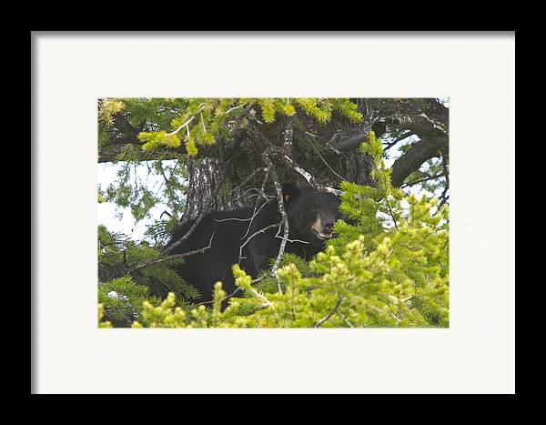 Brown Bear Framed Print featuring the photograph Bear In A Tree by Charles Warren