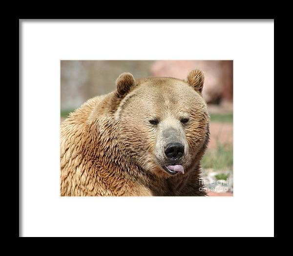 Bear Framed Print featuring the photograph Bear Rasberry by Living Color Photography Lorraine Lynch