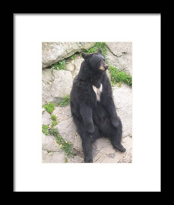 Bear Framed Print featuring the photograph Bear Sitting On A Rock by Carrie Munoz