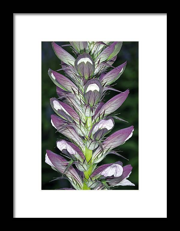 Bears Breeches Framed Print featuring the photograph Bears Breeches (acanthus Spinosus) by Dr Keith Wheeler