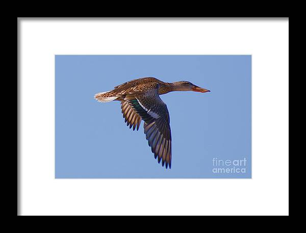 Duck Framed Print featuring the digital art Beautiful Duck Flying by John Kolenberg