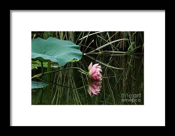 Nelumbo Lutea Nucifera Framed Print featuring the photograph Beautiful Fallen Lotus by Byron Varvarigos