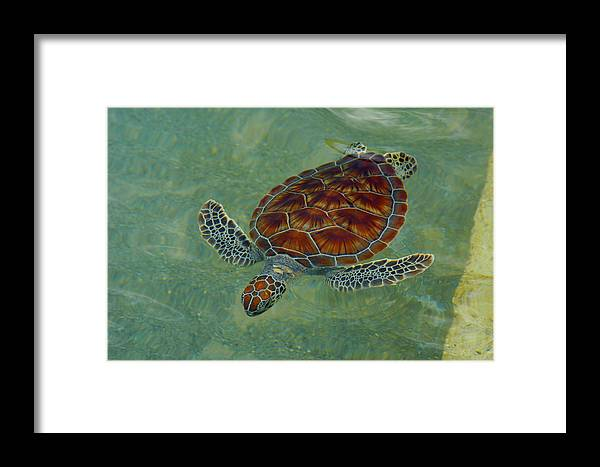 Sea Turtle Framed Print featuring the photograph Beautiful Sea Turtle by Stacey Robinson