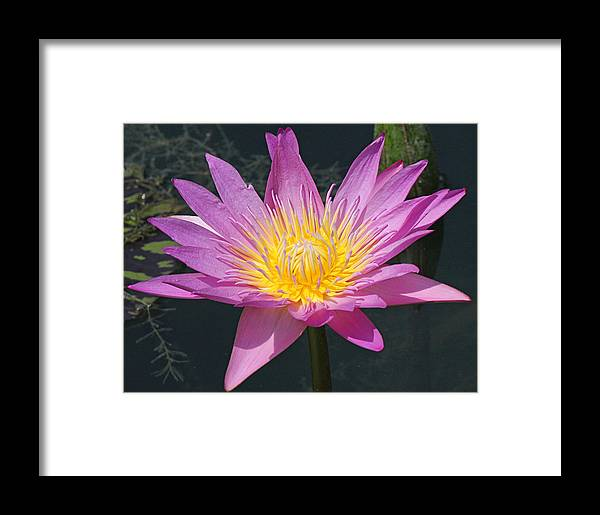 Becky Framed Print featuring the photograph Beautiful Water Lily by Becky Lodes