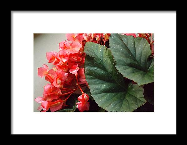 Horizontal Photographs Framed Print featuring the photograph Begonia by C Sitton