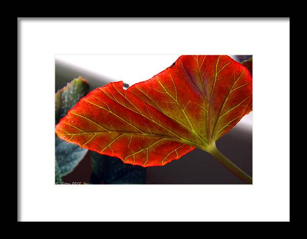 Horizontal Photographs Framed Print featuring the photograph Begonia Leaf by C Sitton