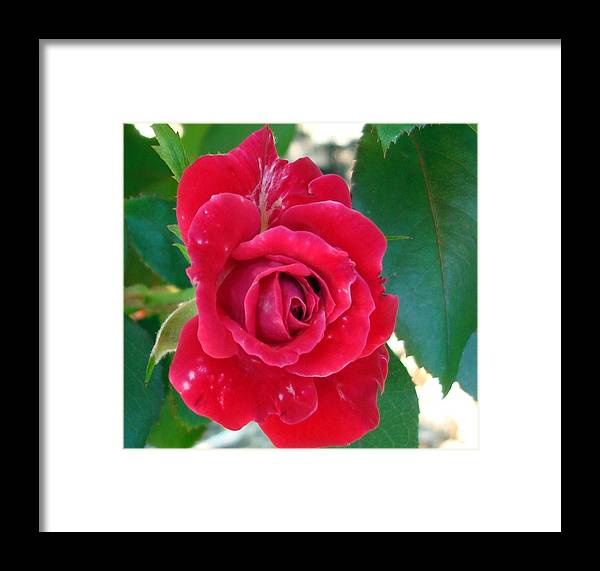 Kathy Bucari Framed Print featuring the photograph Bella Rosa by Kathy Bucari