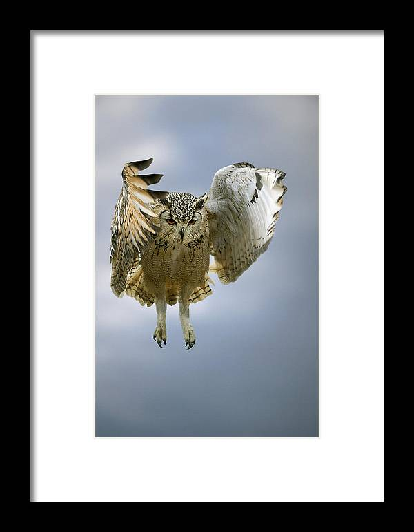 Bubo Bubo Bengalensis Framed Print featuring the photograph Bengalese Eagle Owl In Flight by Linda Wright