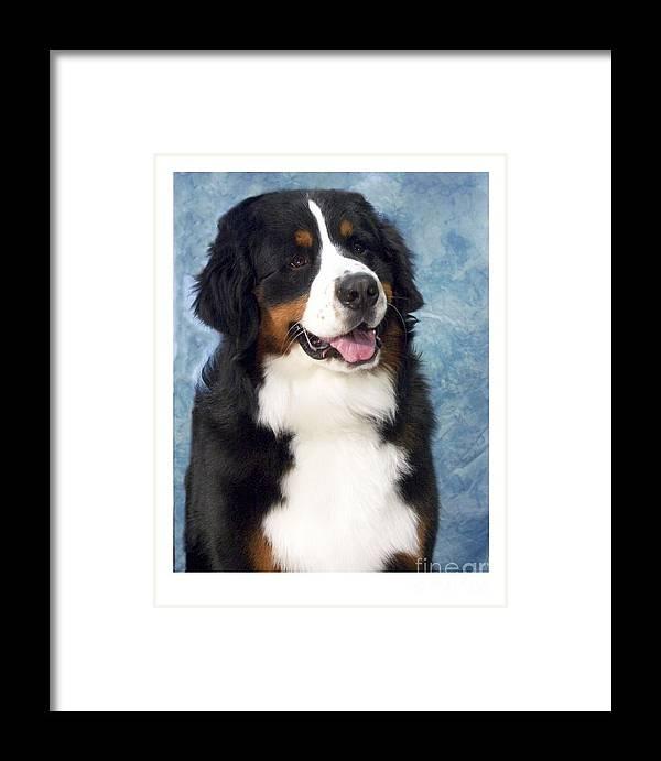 Bernese Mountain Dog Digital Art Framed Print featuring the digital art Bernese Mountain Dog 194 by Larry Matthews
