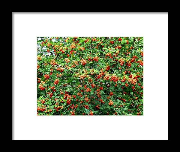 Mountain Ash Framed Print featuring the photograph Berries In Profusion by Will Borden