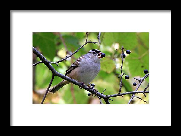 Bird Framed Print featuring the photograph Berry Hungry Bird by Don Downer